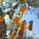 Sorteig de l'olivera d'oli
